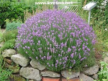 lavandula angustifolia 39 dwarf blue 39 levandule. Black Bedroom Furniture Sets. Home Design Ideas