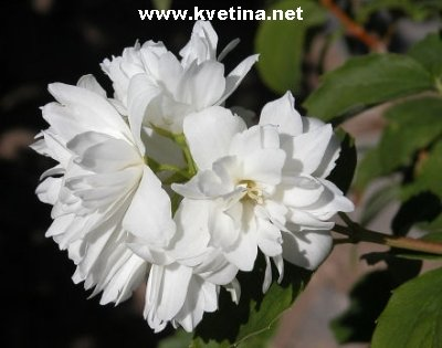 Jasmin kvetina