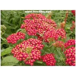 Achillea millefolium - Řebříček