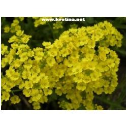 "Alyssum saxatile ""Golden queen"" - Tařice skalní"