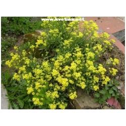 "Alyssum montanum ""Tekara"" - Tařice skalní"