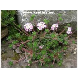 Androsace sarmentosa - Pochybek
