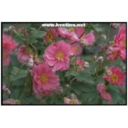 "Anemone multifida ""Annabella Deep Rose"" - Sasanka"