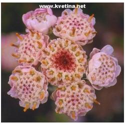 Antennaria dioica - Kociánek dvoudomý