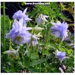 "Aquilegia vulgaris ""Winky Double Blue White"" - Orlíček"
