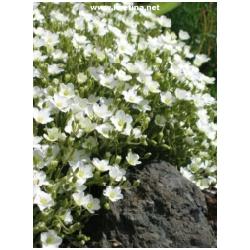 Arenaria montana - Písečnice
