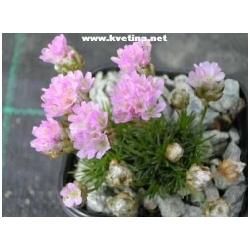 Armeria caespitosa (juniperifolia) - Trávnička