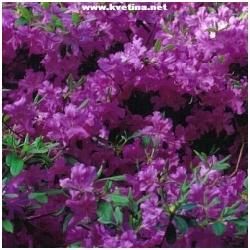 """Azalea japonica """"Blau Donau"""" - Japonská azalka"""