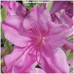 """Azalea japonica """"Herbert"""" - Japonská azalka"""