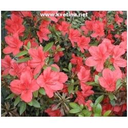 """Azalea japonica """"Orange Beauty"""" - Japonská azalka"""