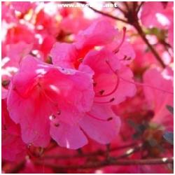 """Azalea japonica """"Mnc Van Heike"""" - Japonská azalka"""