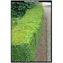Buxus sempervirens - Zimostráz