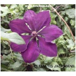 Clematis 'Jackmanii' - Plamének - pnoucí