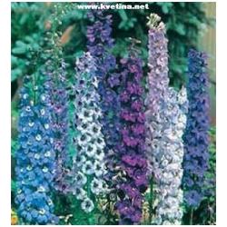 Delphinium hybrida - Ostrožka, Stračka