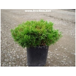 Pinus mugo var. pumilio - Borovice horská - kleč kosodřevina