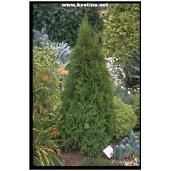 Thuja occidentalis 'Smaragd' - Zerav západní stěsnaně kuželovitý