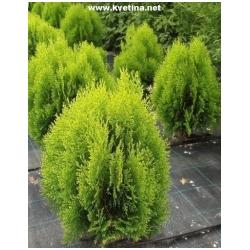 "Thuja orientalis ""Aurea Nana"" /Biota orientalis/ - Zerav východní zakrslý žlutoz"
