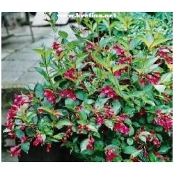 Weigela hybrida (florida) - Vajgélie